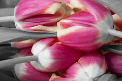 Pink and grey tulips Stock Photography