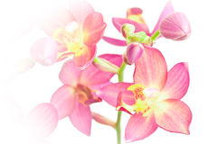 Pink ground orchid Royalty Free Stock Image