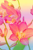 Pink ground orchid Stock Photos