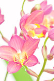 Pink ground orchid Stock Images