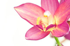 Pink ground orchid Royalty Free Stock Photography