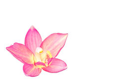 Pink ground orchid Royalty Free Stock Photo