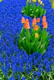 Tulips and bluebell flowerbed. Pink growing tulips and bluebell flowerbed Royalty Free Stock Images