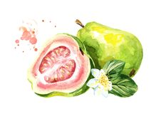 Pink guava fruit composition with leaves and flowers. Watercolor hand drawn illustration, isolated on white background. Pink guava fruit composition with leaves vector illustration