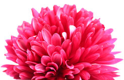 Pink guldaudi flower Stock Photography