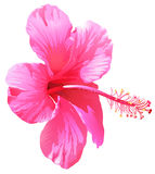 A pink gumamela flower Stock Images