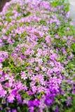 Pink Gypsophila Stock Image