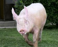 Pink hairy pig runs on the pasture Stock Photography