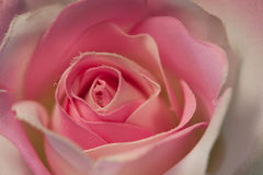 Pink Hand Made Fabric Rose Royalty Free Stock Image
