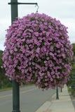 Pink Hanging Basket. Round pink petunia hanging basket Stock Images