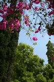 Pink Hangings. Bright, pink bougainvillea flowers hanging beautifully from tree top Royalty Free Stock Images