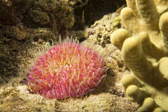 Pink hard coral anemone tentacles detail Royalty Free Stock Photo