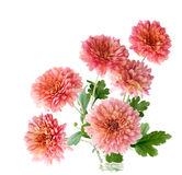 Pink Hardy Mum. Bunch of pink hardy mum flower isolated on white stock image