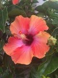 Pink Hawaiian  flowers. Beautiful hibiscus in nature Stock Photo