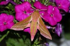 Pink Hawk Moth (Deilephila Elpenor) Stock Photo