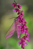 Pink hawkmoth (Deilephila elpenor) Royalty Free Stock Image