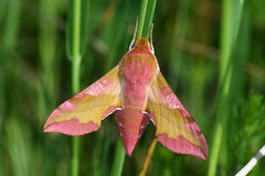 Pink hawkmoth (Deilephila porcellus) Royalty Free Stock Photos