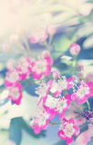 Pink hawthorn Royalty Free Stock Photo