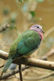 Pink-headed fruit dove. The pink-headed fruit dove sitting on the branch Royalty Free Stock Photography