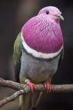 Pink-headed fruit dove Ptilinopus porphyreus Royalty Free Stock Images