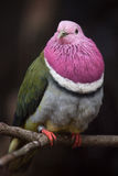 Pink-headed fruit dove Ptilinopus porphyreus Stock Image
