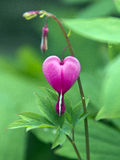 Pink Heart Flower. This is an image of a pink heart droplet flower Royalty Free Stock Photography