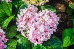 Pink heart shaped Hydrangea macrophylla flowers background. Comm Stock Photos