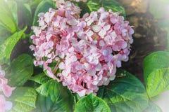 Pink heart shaped Hydrangea macrophylla flowers background. Comm Stock Photo
