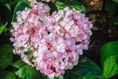 Pink heart shaped Hydrangea macrophylla flowers background. Comm Stock Image