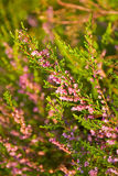 Pink heather Royalty Free Stock Photos