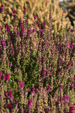 Pink heather Royalty Free Stock Image