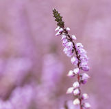 Pink heather Royalty Free Stock Photography