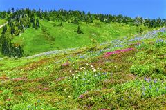 Pink Heather Blue Lupine Wildflowers Mount Rainier Paradise royalty free stock images