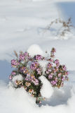 Erica in the snow - heather. Pink heather (= Erica = heath) with flowers in the snow stock photo