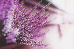 Pink heather flower blurred background Royalty Free Stock Images