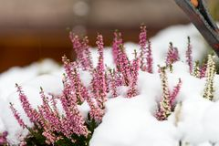 Heather flower coverd in snow. Pink heather flower coverd in snow Royalty Free Stock Image