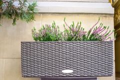 Pink Heather flowers in flowerpot near house wall. Calluna vulgaris potted plant shrub, floral home decor stock image