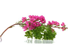 Pink heather with fresh green parsley Royalty Free Stock Images