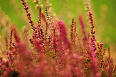 Pink Heather on green grass background. With bokeh Royalty Free Stock Photography