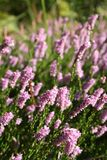 Pink heather in the meadow Stock Photos