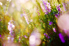 Pink heather morning golden sun Stock Images