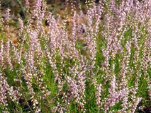 Pink heather plant in forest, Lithuania Royalty Free Stock Photos