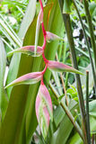 Pink Heliconia Rostrata Stock Images