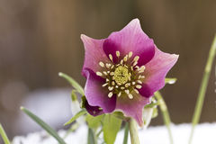 Pink Hellebore (Helleborus niger) or Christmas Rose flowers in their natural habitat. Shallow DOF Royalty Free Stock Images