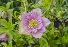 Pink Hellebore or lenten rose Stock Image