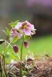 Pink Hellebore Stock Image