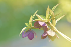 Pink hellebore stem Royalty Free Stock Images