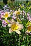 Pink Hemerocallis Catherine Woodberry Stock Images