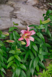 Pink hemerocallis flower Stock Photography