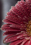 Pink herbera flower. With water drops on the petals Stock Photos